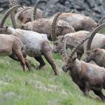 A sziklaszirtek uralkodója – A kőszáli kecske