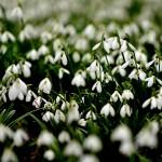 Tavaszi virágtenger Alcsúton