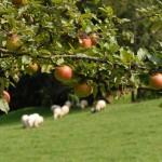 Az illatos almavidék bájai!