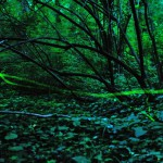 Szentjánosbogár: imponálóan villantanak egymás kegyeiért