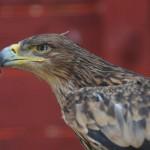 Felséges szárnyasok: A parlagi sas birodalmában
