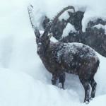 A kőszáli kecske téli túlélési stratégiája