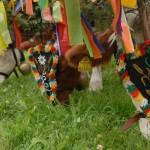 Almabtrieb: Cicomába öltöztetett tehenek masírozása